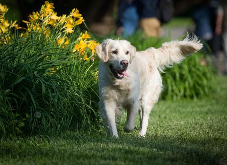 perros graciosos: Golden retriever en el parque