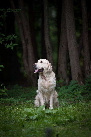 myst: golden retriever in a forest Stock Photo