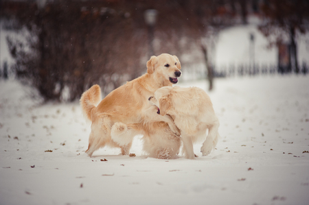 two tone: Two playing golden retrievers in winter day Stock Photo