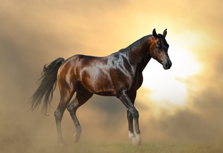 Beautiful dark bay arabian stallion in sunset walking