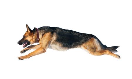 Cane da pastore tedesco nel salto isolato sopra una priorità bassa bianca Archivio Fotografico