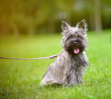 cairn terrier on a walk in the summer park