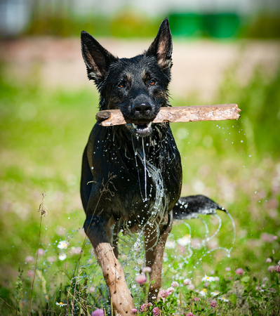 German shepperd dog with stick, after water in hot sunny day