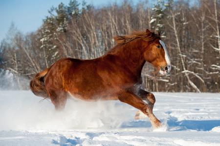 Draft horse running in snowy winter field 版權商用圖片