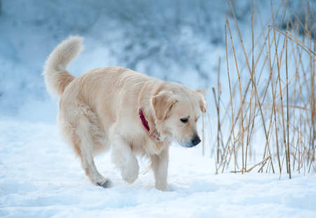 Young golden retriever walking in winter forest