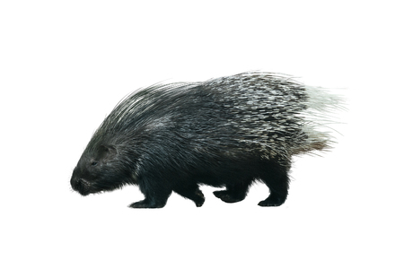 Porcupine walking isolated over a white