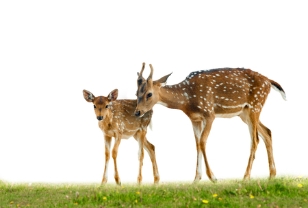 Young axis deers family in grass over a white Stock Photo