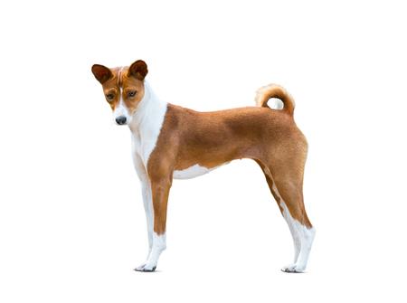 Basenji dog isolated over a white background