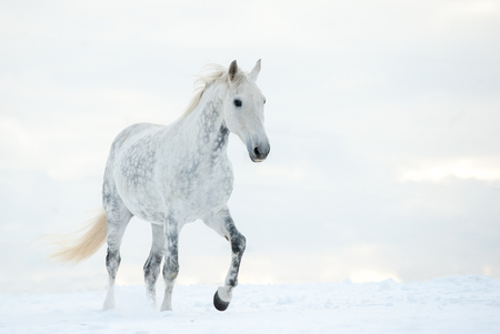 Dapple gray horse in cold winter day Stock Photo