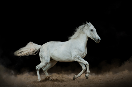 White horse in the dust over a black background Stockfoto