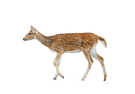 Spotted deer female isolated over a white background, walking