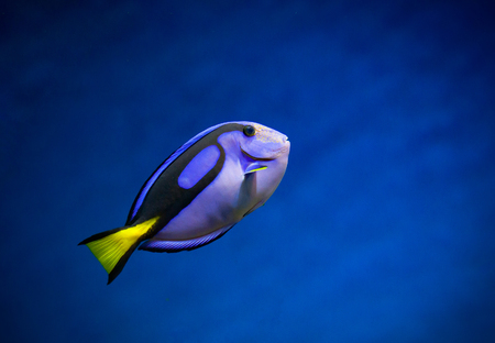 Regal Tang the blue fish on a nice blue underwater background Stock Photo