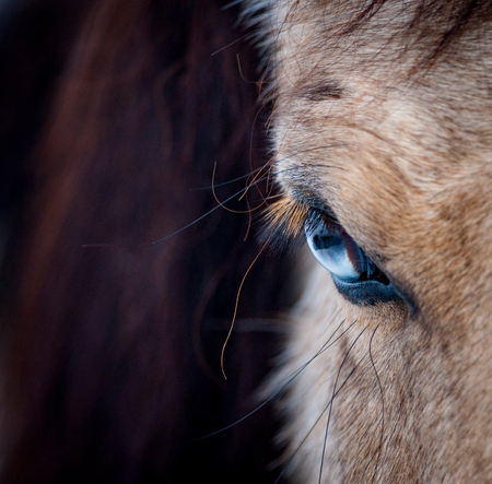 Blue eye of a horse close up view