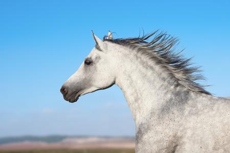 Arabian stallion portrait in movement over a nature background 版權商用圖片