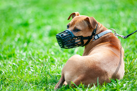 Pitbull terrier in muzzle on a leash Stockfoto