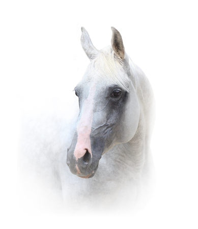 Beautiful white horse portrait on white
