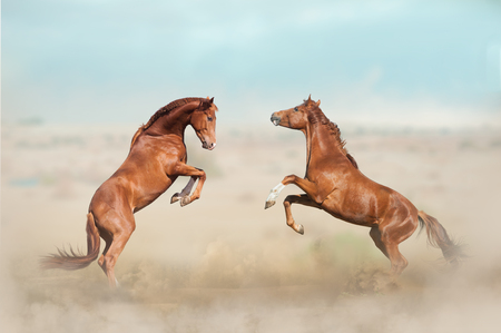 two beautiful young stallions playing in desert