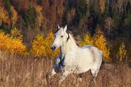 Horse in autumn forest running on freedom 版權商用圖片
