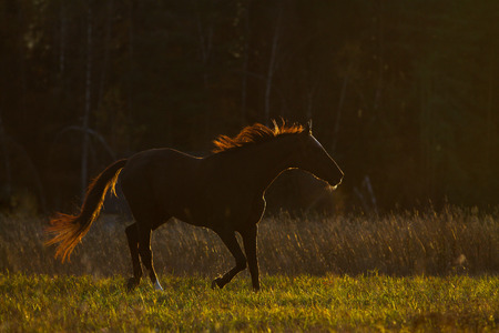 Horse in contour light in sunset on nature