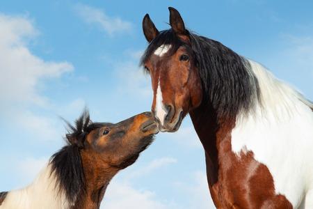 Concept: Pinto shetlend pony kisses big saddle horse
