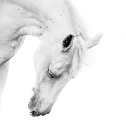 Beautiful white horse on a white background