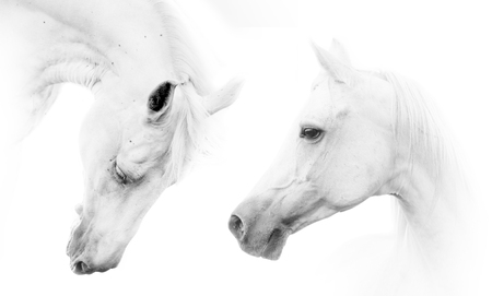 Two beautiful white horses on white background Banque d'images