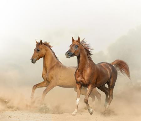 Two chestnut horses running on a wild in desert