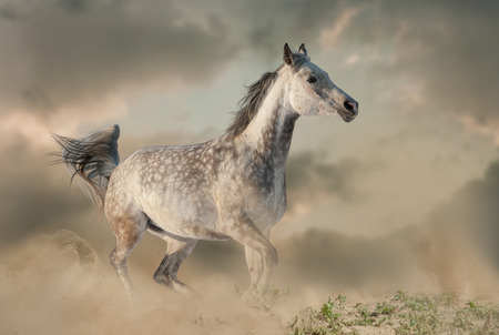 Beautiful arabian horse in the dust running on the wild Banque d'images