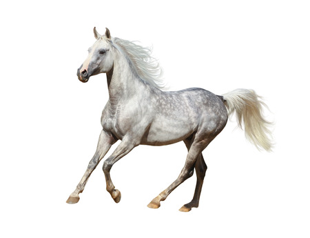 Arabian stallion isolated over a white background