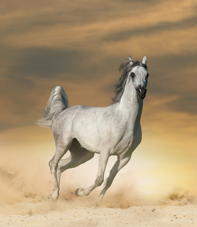 Beautiful arabian horse in desert runninf wild
