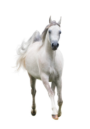 Beautiful arabain horse front view isolated