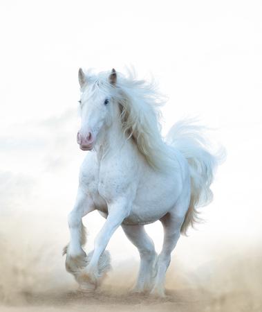 Snow white horse running in prairies Imagens