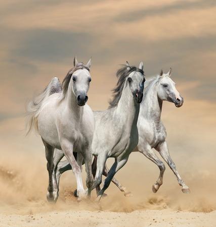 Beautiful arabian horses in desert sunset runninf wild Banque d'images - 119630368