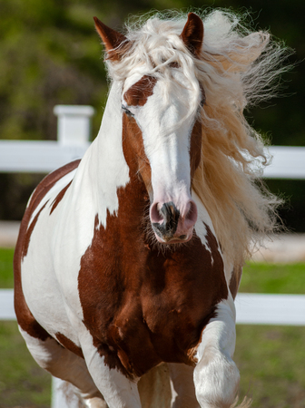 Running long mained gypsy cob front view