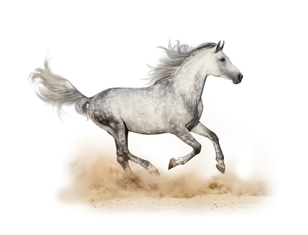 Dapple gray arabian stallion running in dust isolated 版權商用圖片