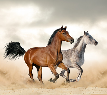 Beautiful wild horses in desert running wild