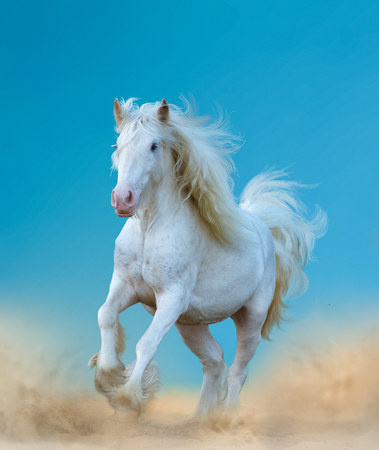 Beautiful white gypsy horse running against the blue skies 免版税图像