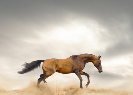 Akhal-teke stallion is running in prairies alone