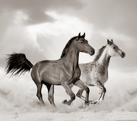 Beautiful arabian horse in desert running. Toned image