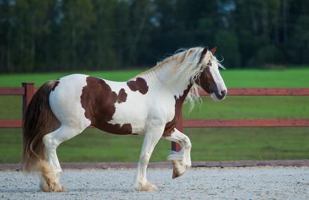 Irish cob stallion shows off in paddock
