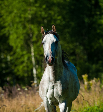 Dapple gray arab stallion running frontview
