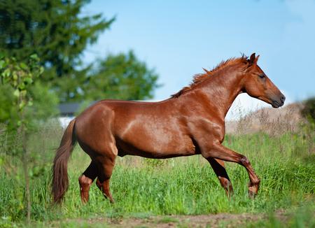 Kastanjepaard loopt in vrijheid in het zomerveld Stockfoto
