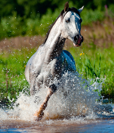 Arab stallion running in water front view