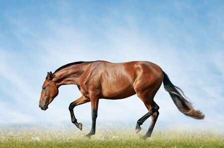 Bay horse in the field on freedom Banco de Imagens