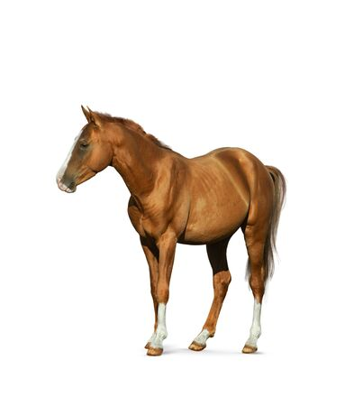 Chestnut horse isolated over a white background