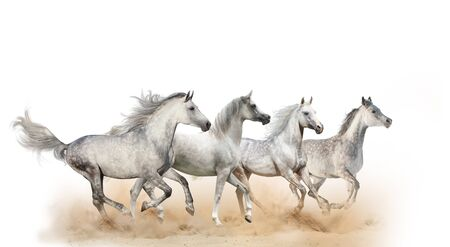 Four beautiful arabian horses running in dust, isolated Banque d'images