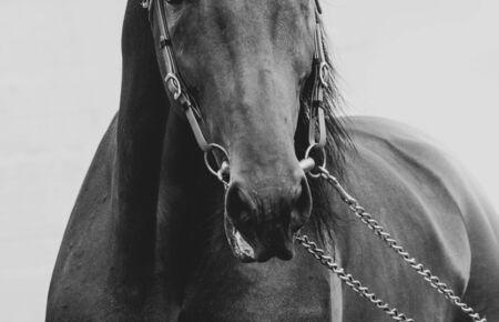Horse nose in briddle closeup