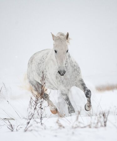 Gray orlov trotter in winter, moving forward Stockfoto