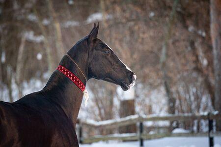 Beautiful akhal-teke stallion in aladja, traditional turkmenian horse equipment