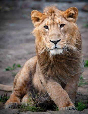 Young lion male portrait closeup